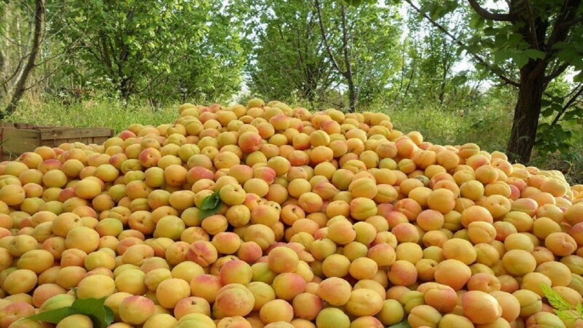افزایش 12 درصدی تولید زردآلو در آذربایجان غربی